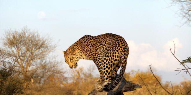 Leopard im Krüger-Nationalpark